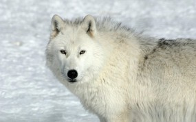 Обои Задумчивый волк: Зима, Снег, Белый волк, Волки