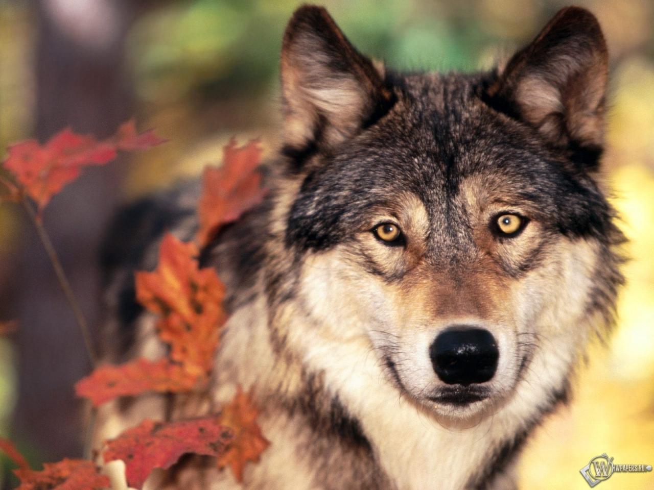 Волк осенью 1280x960