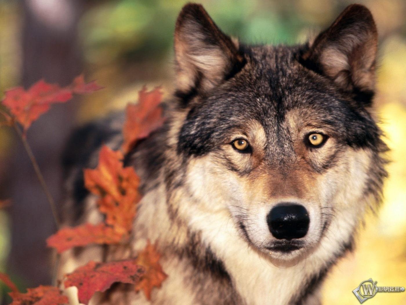 Волк осенью 1400x1050