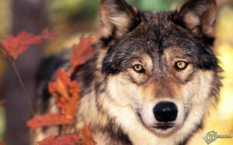 Волк осенью 1440x900