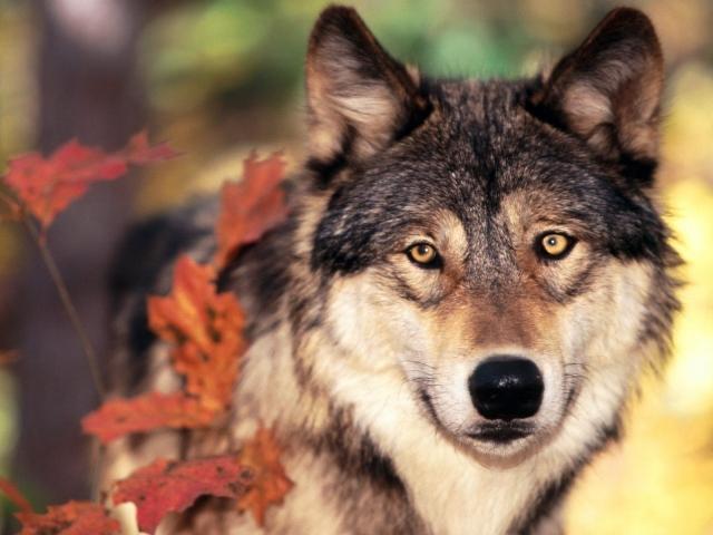 Волк осенью