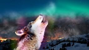 Обои Воющий волк: Волк, Дыхание, Зов, Волки