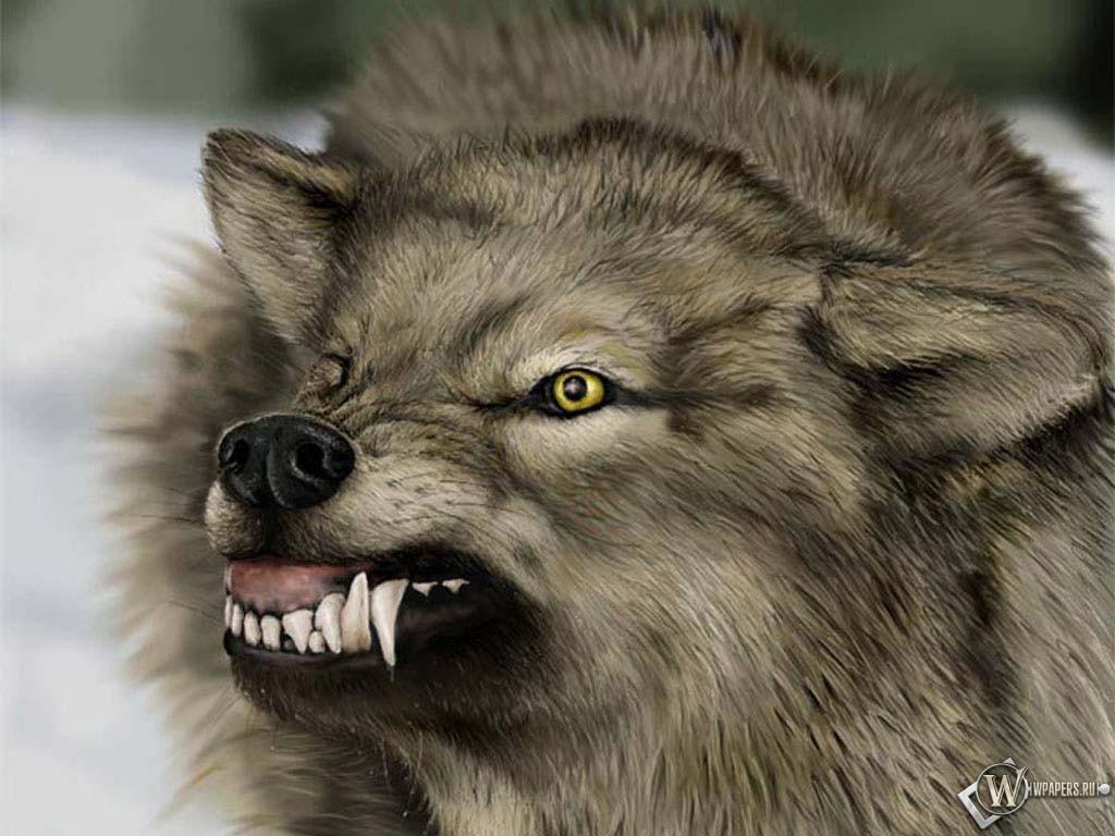 Скалящийся волк 1024x768
