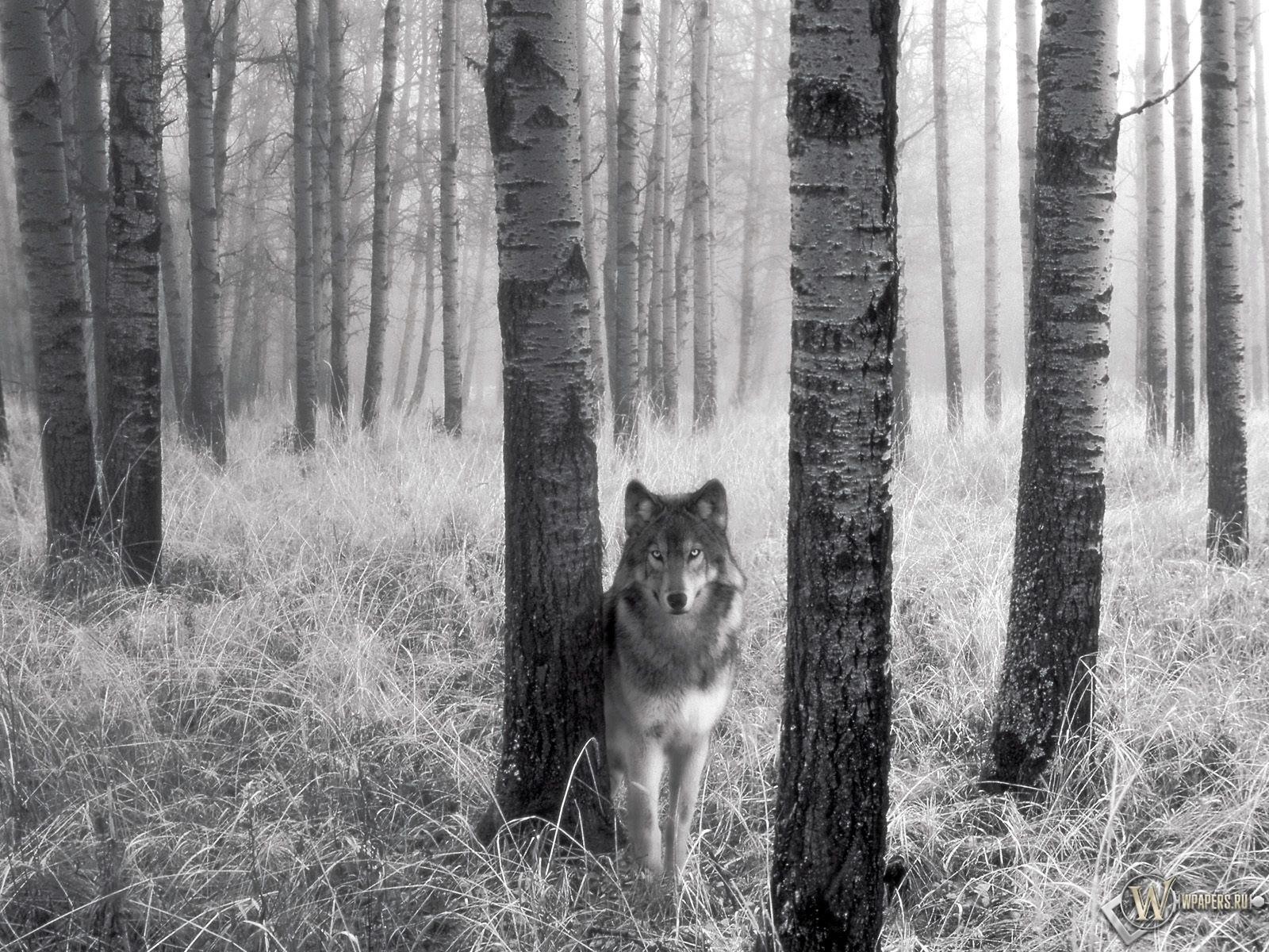Волк за деревом 1600x1200