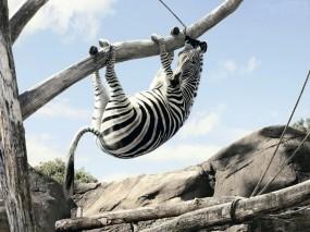 Зебра вверх ногами на дереве
