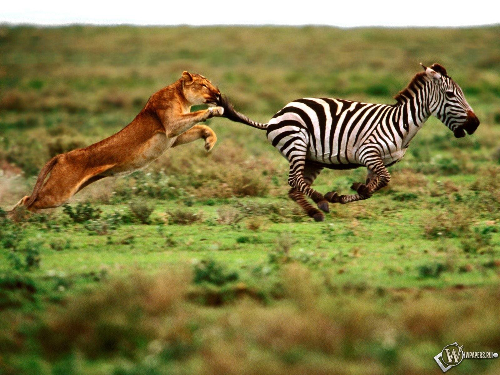 Зебра убегает от львицы 1600x1200
