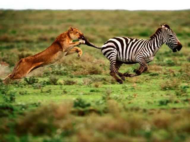 Зебра убегает от львицы