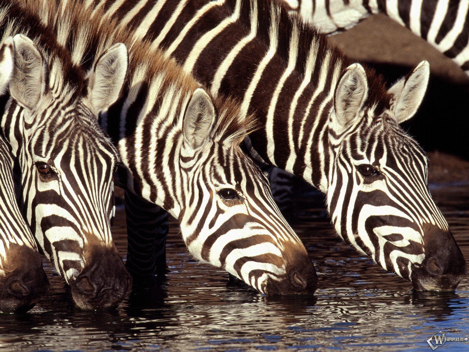 Зебры на водопое 1600x1200