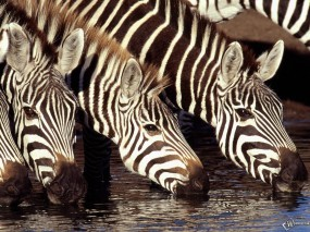 Обои Зебры на водопое: Зебры, Водопой, Зебры