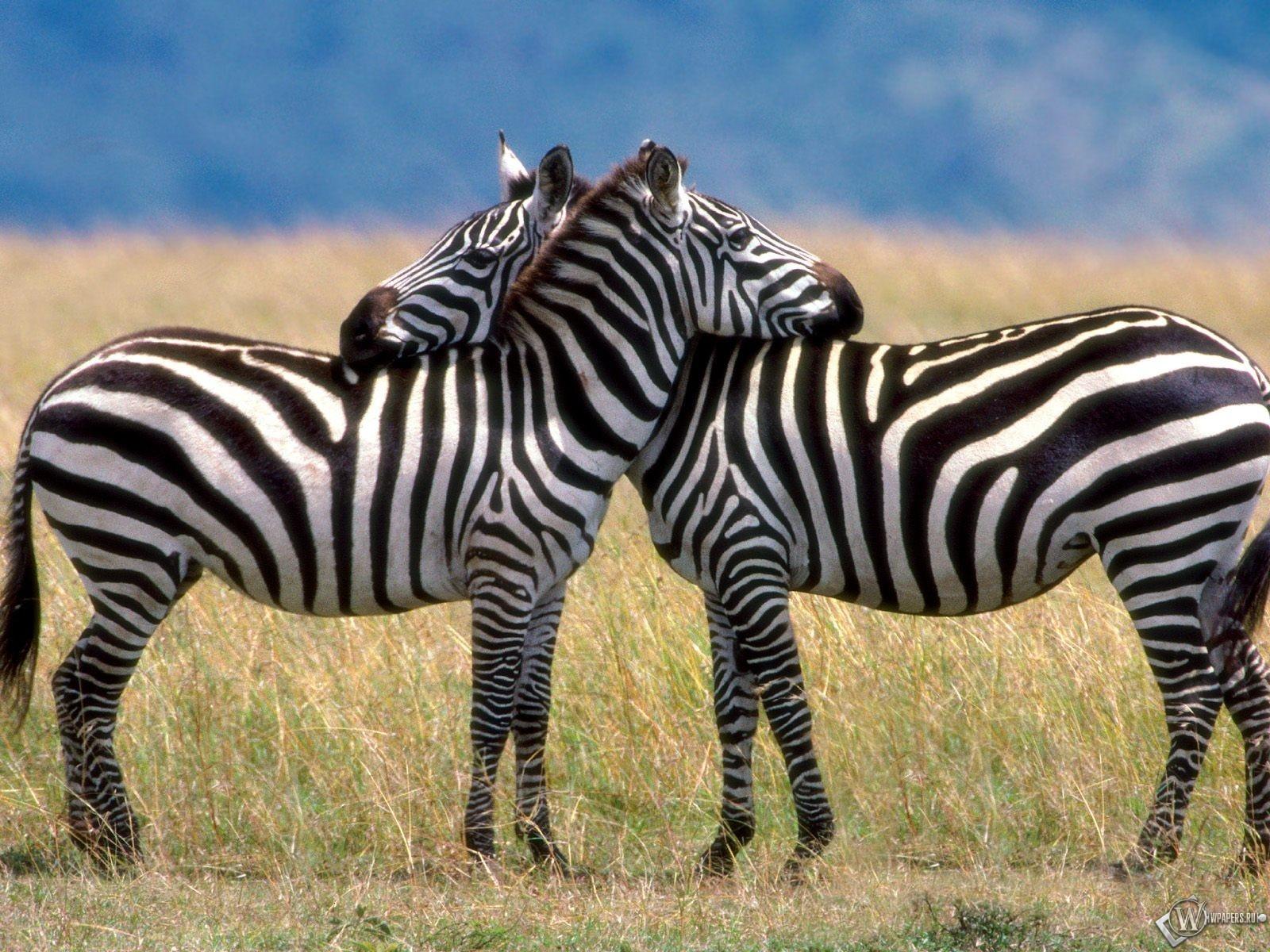 Две зебры обнимаются 1600x1200