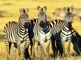 Обои Три зебры: Зебры, Зебры