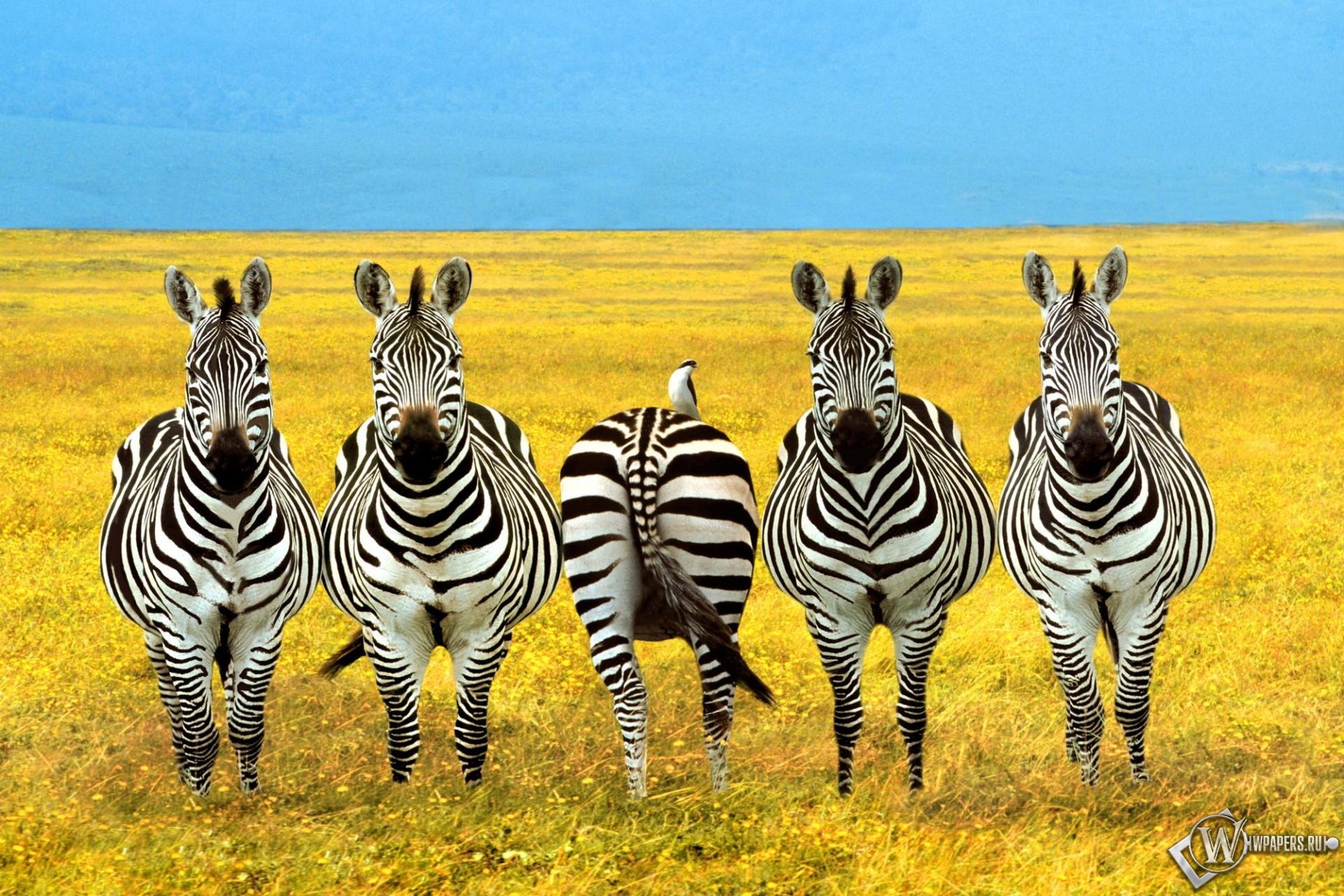Четыре зебры и жопа 1920x1280
