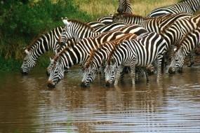 Обои Зебры на водопое: Вода, Стадо, Зебры, Водопой, Зебры