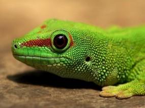 Обои Ящерица: Макро, Зелёный, Ящерица, Прочие животные