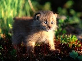 Обои Котёнок рыси: Рысь, Канада, Котёнок, Прочие животные