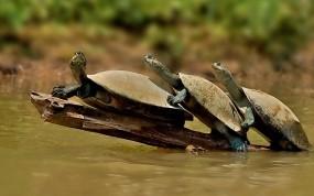 Обои Черепахи: Вода, Черепахи, Прочие животные