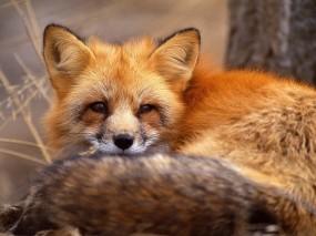 Обои Рыжая лиса: Глаза, Портрет, Морда, Лиса, Прочие животные