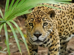 Обои Ягуар: Большая кошка, Ягуар, Животные