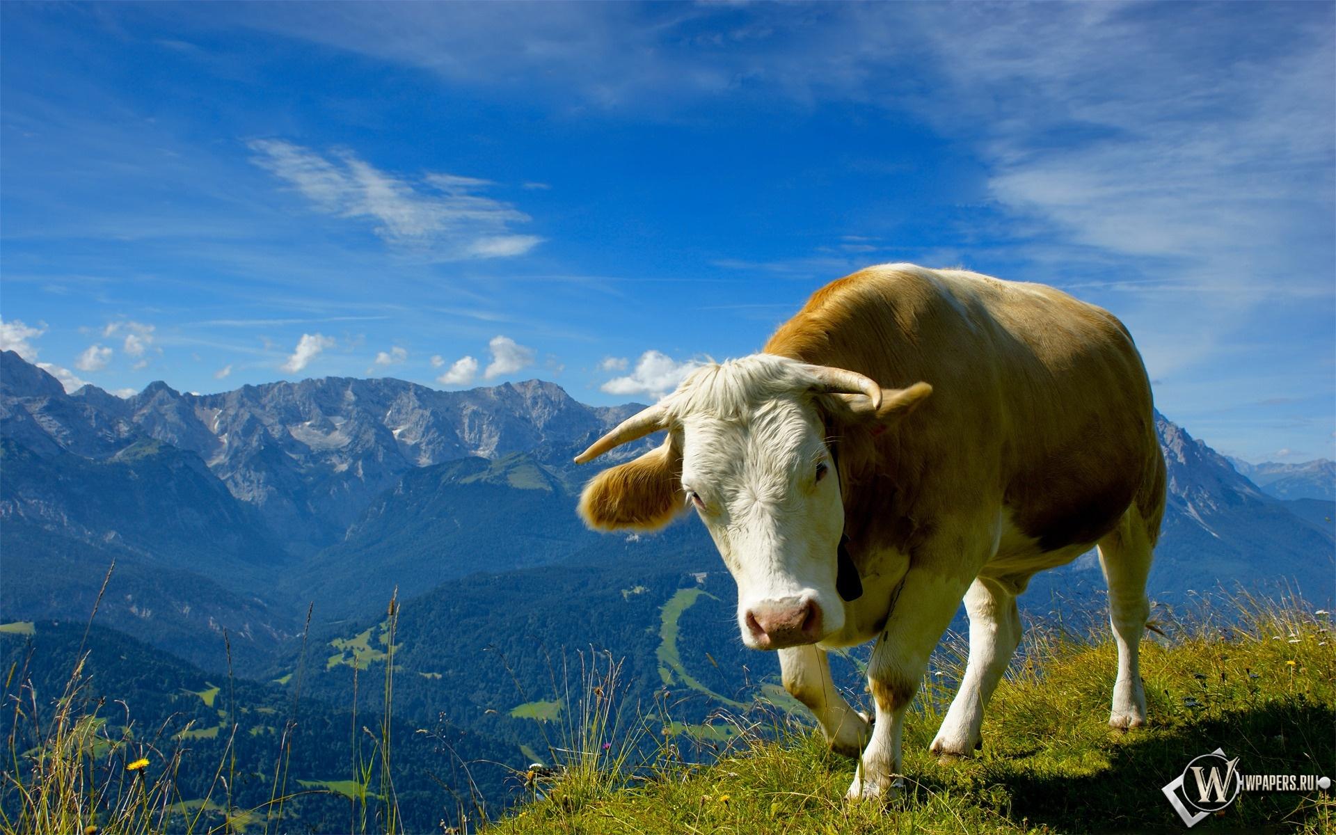 Корова 1920x1200