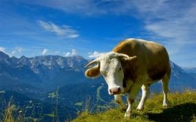 Обои Корова: Горы, Трава, Небо, Цветы, Корова, Рога, Домашние животные, Прочие животные