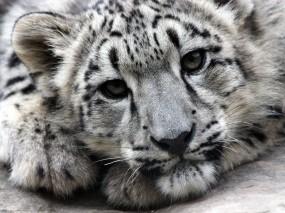 Обои Ирбис: Хищник, Ирбис, Snow leopard, Прочие животные