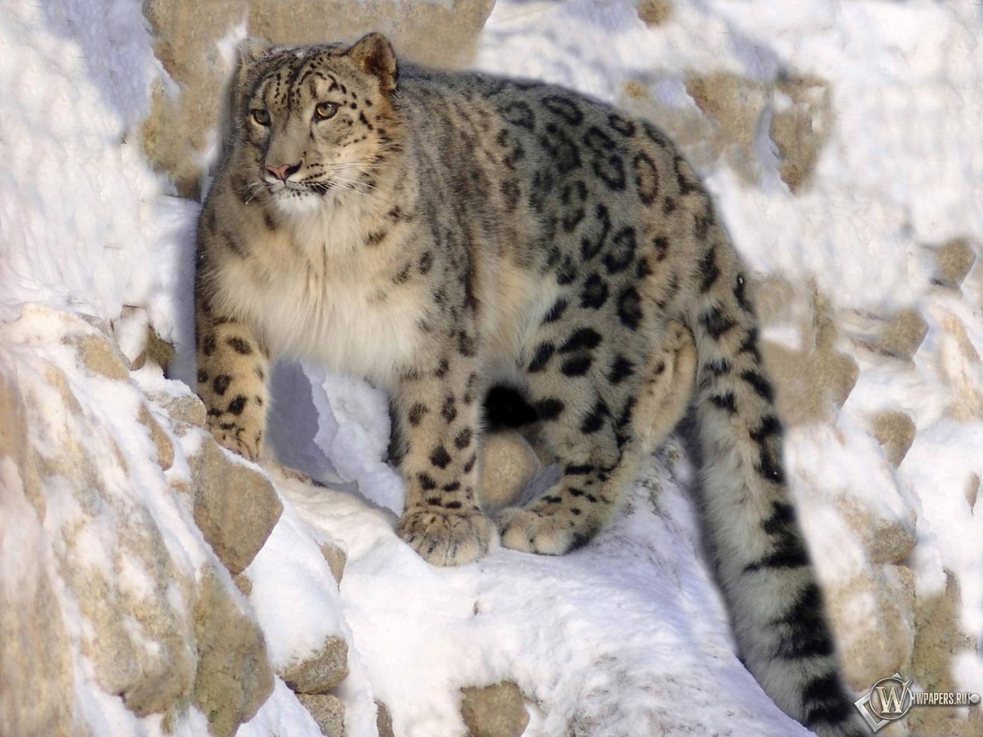Снежный барс на охоте 1400x1050