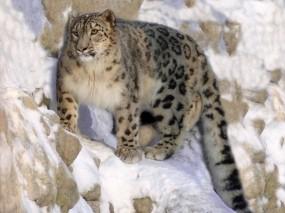 Обои Снежный барс на охоте: Хищник, Кошка, Ирбис, Скала, Прочие животные