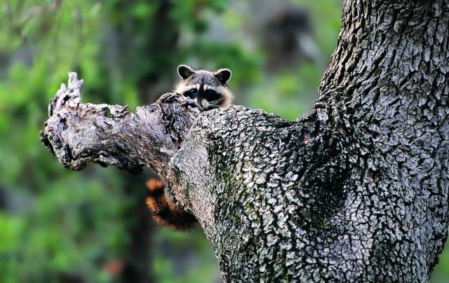 Енот на дереве