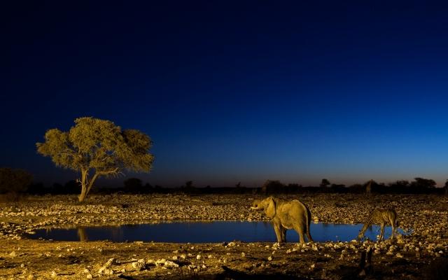 Слон и жираф на водопое