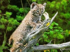 Обои Рысь на дереве: Рысь, Прочие животные