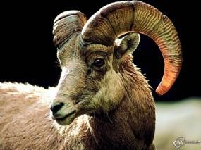 Обои Горный козел: Козел, Прочие животные