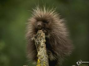 Обои Дикобраз на дереве: Дикобраз, Прочие животные