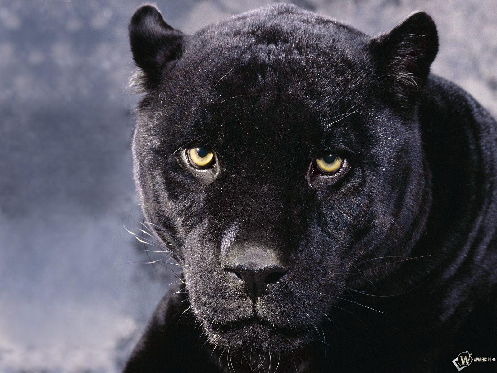 Черная Пантера 1600x1200