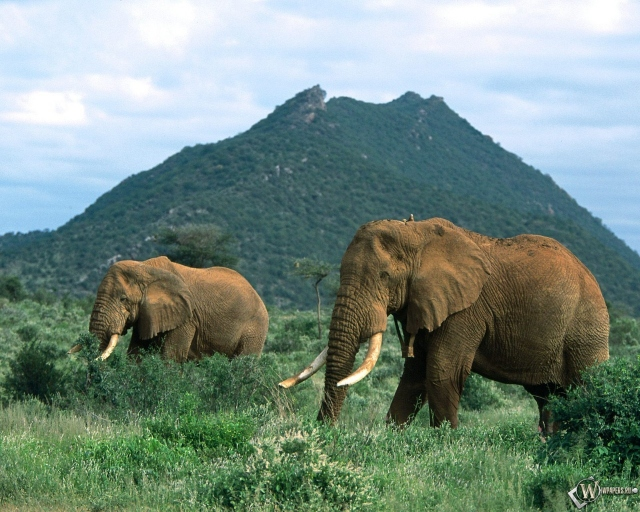 Слоны в травке