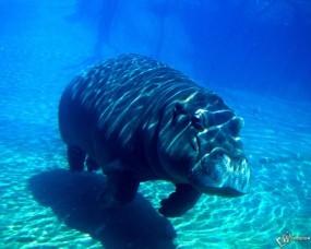 Обои Бегемот под водой: Бегемот, Прочие животные