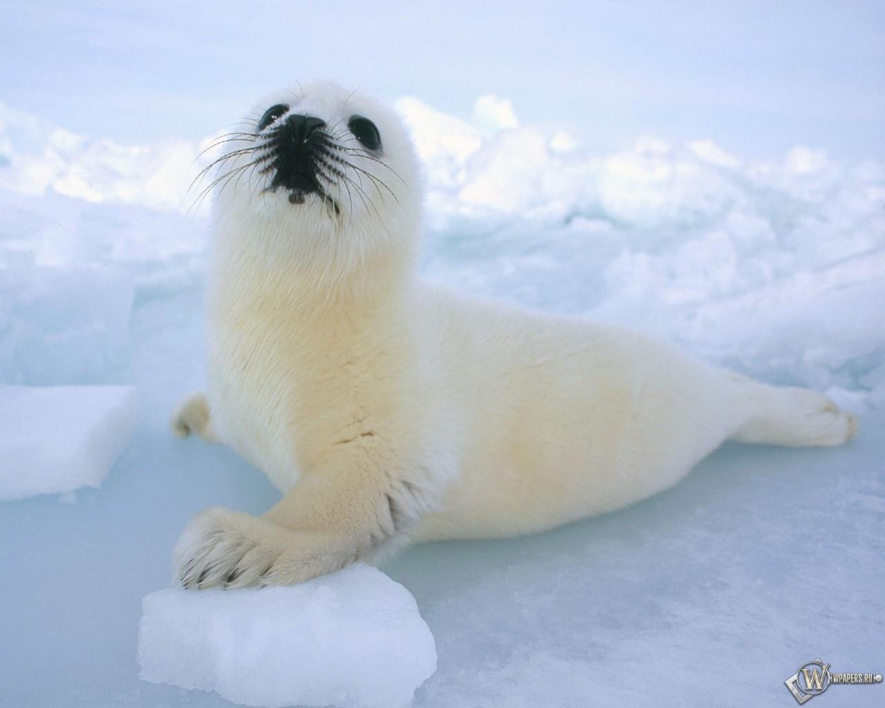 Белый тюлень 1280x1024