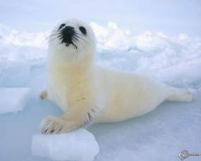 Обои Белый тюлень: Тюлень, Прочие животные