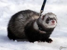 Обои Хорек на снегу: Хорек, Прочие животные