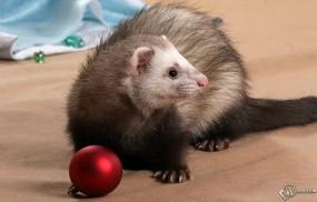 Обои Хорек и новогодняя игрушка: Хорек, Прочие животные