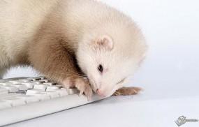 Хорек и клавиатура