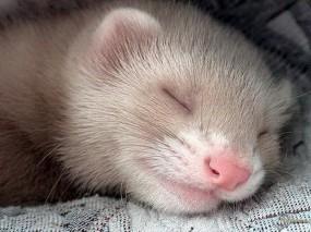 Обои Спящий хорек: Хорек, Прочие животные
