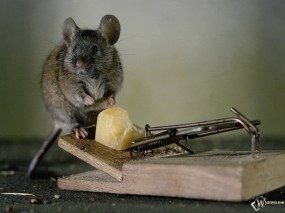 Обои Сыр и мышь: Сыр, Мышь, Мышеловка, Прочие животные