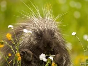 Обои Дикобраз с цветами: Дикобраз, Прочие животные