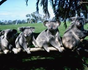 Обои Семейство коал: Коалы, Прочие животные