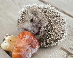 Обои Ёж и гриб: Ёж, Прочие животные
