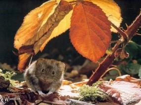 Обои Мышонок под листом: Мышь, Прочие животные