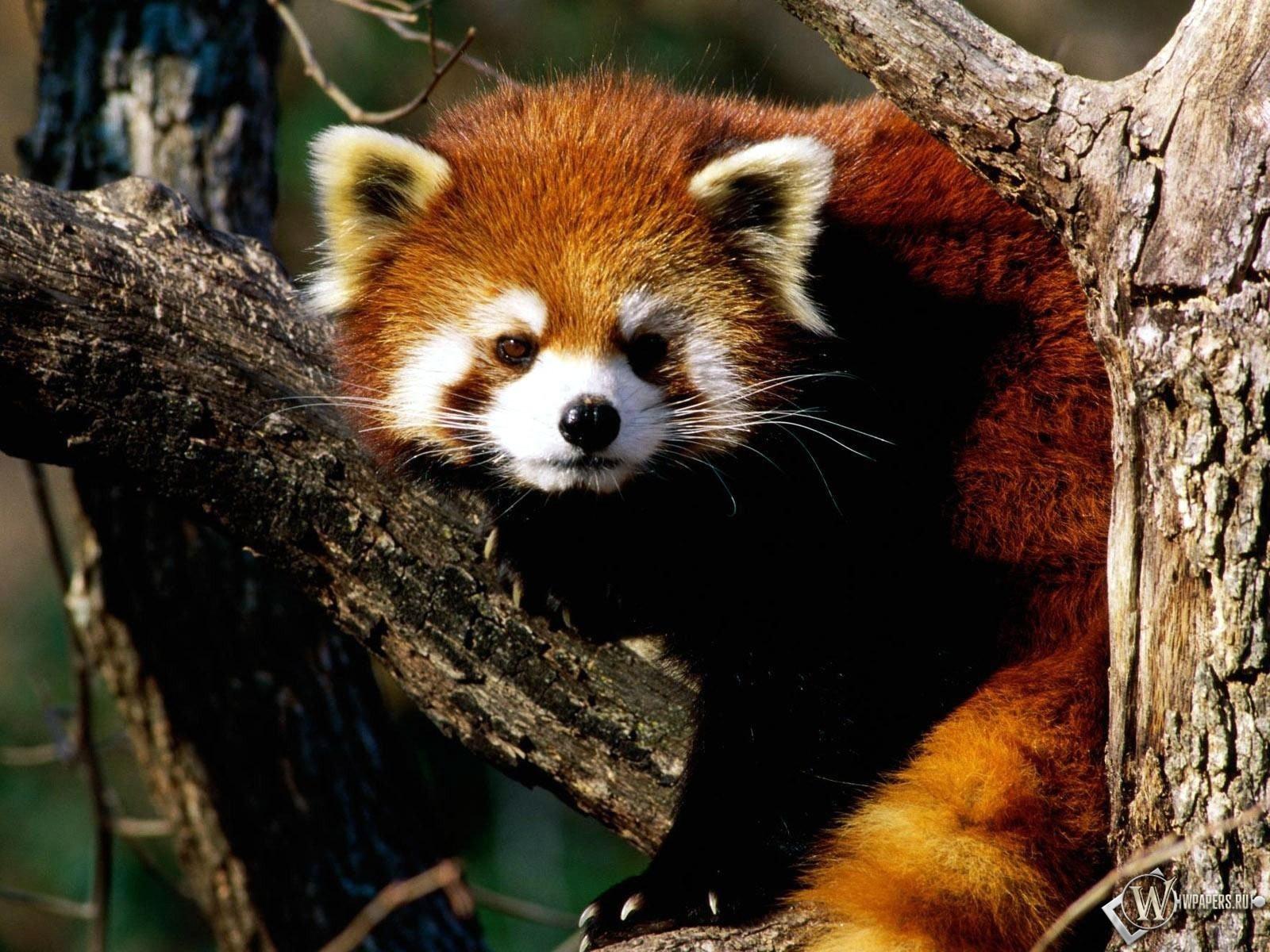 Красная панда 1600x1200