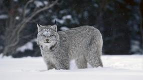 Обои Рысь: Зима, Снег, Рысь, Прочие животные