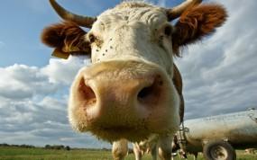 Обои Корова: Морда, Макро, Корова, Прочие животные