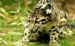 Обои Оцелот: Трава, Хищник, Охота, Прочие животные